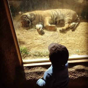 If it wasn't for Tina, I wouldn't take David to go meet Tigers like this one.